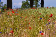 Free Poppy Flower Stock Photography - 14980822