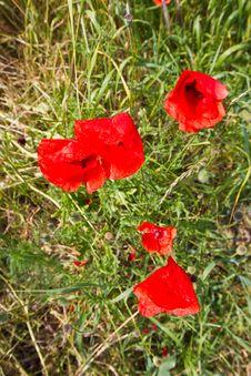 Free Poppy Flower Royalty Free Stock Photo - 14980895