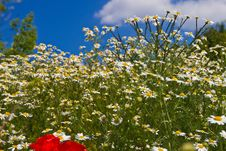 Free Field Flowers Royalty Free Stock Photos - 14980948