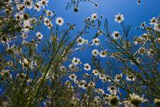 Free Daisy Flower Royalty Free Stock Photo - 14980975