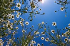 Free Daisy Flower Royalty Free Stock Image - 14980986