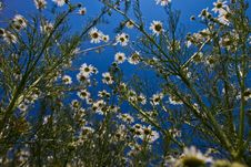 Free Daisy Flower Royalty Free Stock Images - 14980989