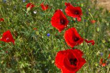 Free Poppy Flower Royalty Free Stock Photography - 14980997