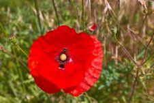 Free Poppy Flower Stock Photos - 14981043