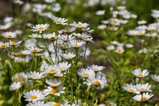Daisy Flowers On A Meadow Stock Photos