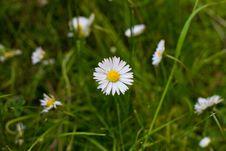 Free Daisy Flower Royalty Free Stock Photo - 14981085
