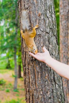Free Feeding Of The Squirrel Royalty Free Stock Photo - 14981135