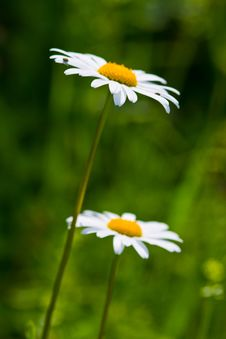 Daisy Flowers On A Meadow Royalty Free Stock Photography