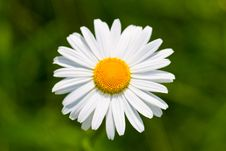 Daisy Flowers On A Meadow Stock Image