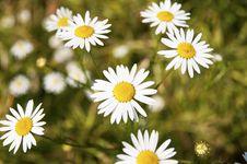 Free Daisy Flowers Stock Photography - 14981702