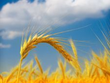 Free Wheat Field Stock Images - 14982334