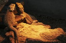 Free Bearded Dragons Royalty Free Stock Image - 14982376
