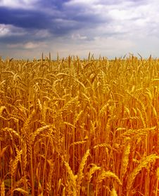 Free Wheat  Field Stock Photo - 14982410