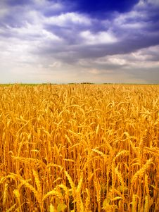 Free Wheat Field Stock Photo - 14982710