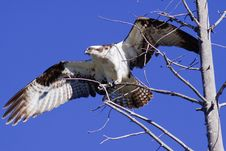 Free Osprey In Tree Royalty Free Stock Images - 14983059