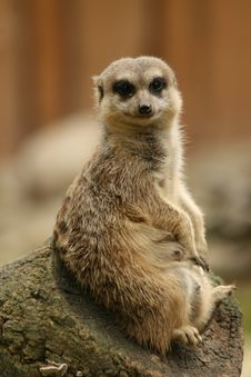Free Suricate Royalty Free Stock Images - 14983249
