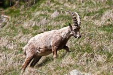 Free Capra Ibex - Italian Alps Royalty Free Stock Photo - 14983705