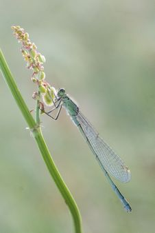 Common Blue Damselfly Stock Images