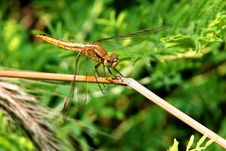 Free Dragonfly Stock Photo - 14984450