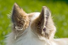 Free Chihuahua Ears Back View Royalty Free Stock Image - 14984486