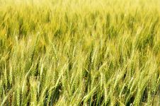 Free Wheat Field Close Up Royalty Free Stock Photography - 14984767