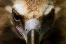 Free Beautiful Vulture Stock Photo - 14984930