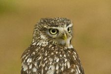 Free Liitle Owl Stock Photography - 14985002