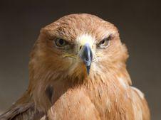 Free Tawny Eagle Head On Royalty Free Stock Photos - 14985018