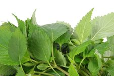 Free Mint Leaves Royalty Free Stock Photo - 14985705
