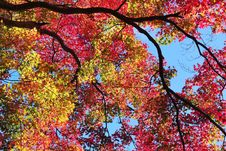 Free Colorful Maple Silhouette Stock Photography - 14986082