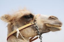Free Camel Head Royalty Free Stock Photography - 14986267