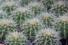 Free Close Up Of Cactus In Pattern Royalty Free Stock Photo - 14986425