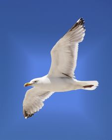Free Seagull Soaring Royalty Free Stock Images - 14986499
