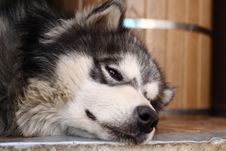 Picture Of A Brown-eyed Adult Siberian Husky Stock Photography