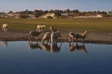 Free Sheeps By The Lake Royalty Free Stock Photo - 14986925
