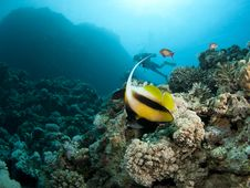 Free Banner Fish With Scuba Diver In Background Stock Image - 14987471