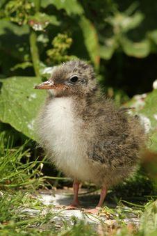 Free Baby Tern Royalty Free Stock Photo - 14987585