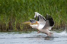 Free White Pelicans Taking Off Royalty Free Stock Images - 14988919