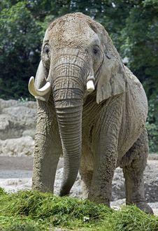 Free African Elephant 1 Royalty Free Stock Image - 14989186