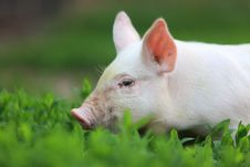 Free Pig. Royalty Free Stock Images - 14989709