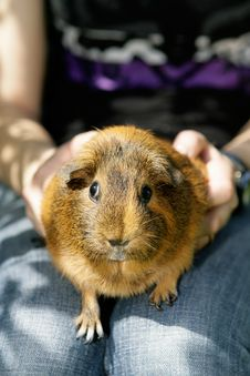 Free Guines Pig Royalty Free Stock Photo - 14989935