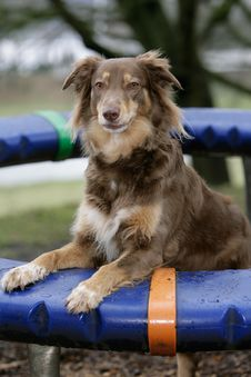 Free Australian Shepherd Dog Royalty Free Stock Photography - 14989957