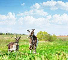 Free Goats Royalty Free Stock Photography - 14989967