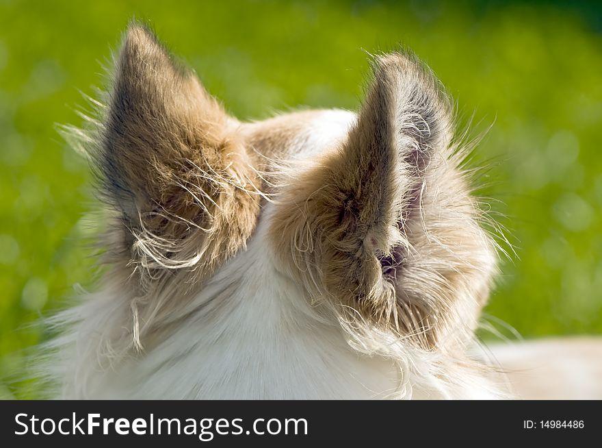 Chihuahua ears back view