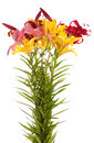 Free Lily Flowers,isolated. Stock Images - 14990944