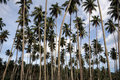 Free Palm Trees Royalty Free Stock Image - 14994586