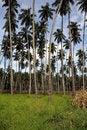 Free Palm Trees Royalty Free Stock Photos - 14994608