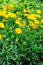 Free Daisies Chrysanthemum Royalty Free Stock Images - 14997479