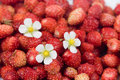 Free Wild Strawberry Stock Images - 14997854