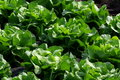 Free Lettuce Stock Photography - 14999182